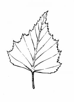 Drawn leaf birch leaf