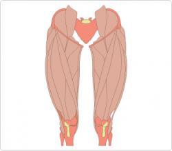 Legs clipart muscular