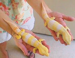 Leopard Gecko clipart
