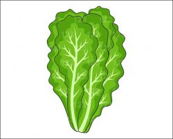 Cabbage clipart lettuce leaf