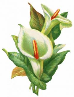 Vintage Flower clipart easter lily
