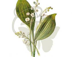 Lily Of The Valley clipart botanical illustration