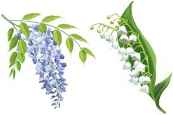 Wisteria clipart lily the valley