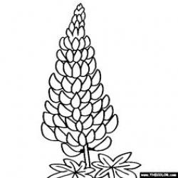 Lupine clipart Lupine Drawing