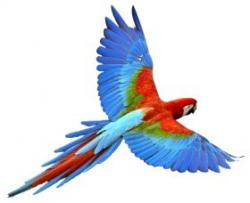 Macaw clipart beautiful bird