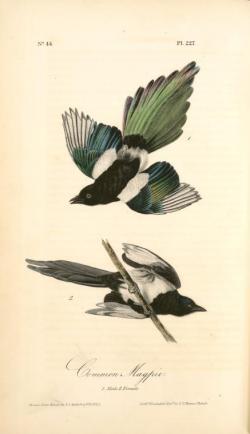 Magpie clipart audubon