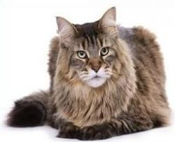 Maine Coon clipart