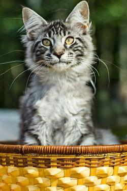 Maine Coon clipart 8 week