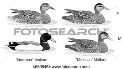 Mallard clipart natural thing