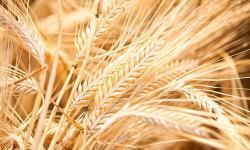 Barley clipart row