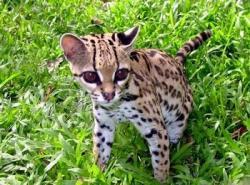Ocelot clipart rainforest animal