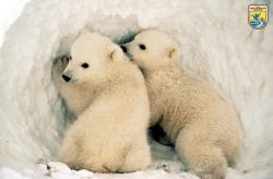 Cub clipart polar habitat