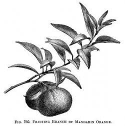 Mandarin clipart black and white