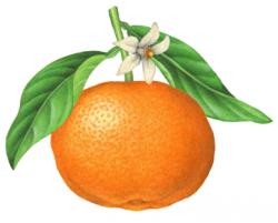 Mandarin clipart clementine