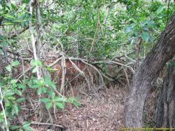 Mangrove clipart everglades