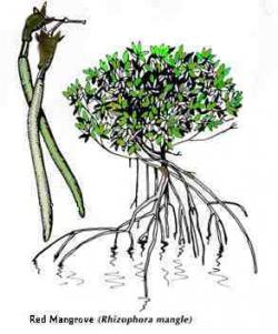 Mangrove clipart plant root
