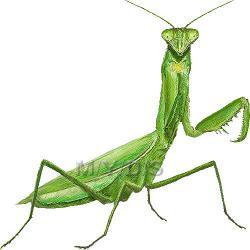 Praying Mantis clipart cricket