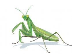 Mantis clipart cricket