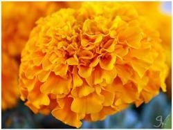 Marigold clipart cempasuchil