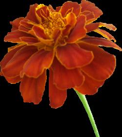 Marigold clipart marigold flower