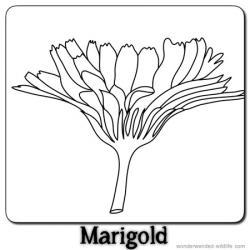 Marigold clipart outline