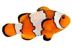 Clownfish clipart snowflake