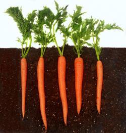 Underground clipart carrot