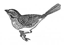Victorian clipart sparrow