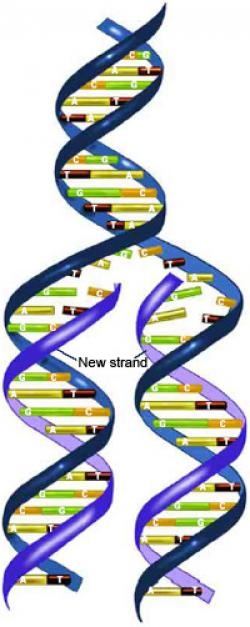 Mutant clipart dna replication