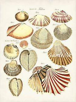 Mollusc clipart oyster pearl