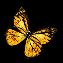 Papillon clipart yellow butterfly