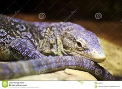 Green Iguana clipart monitor lizard