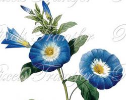Morning Glory clipart indigo plant