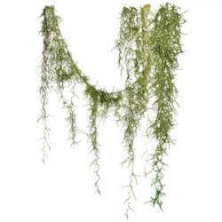 Moss clipart spanish moss