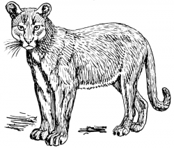 Cougar clipart black and white