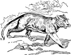 Cougar clipart walking