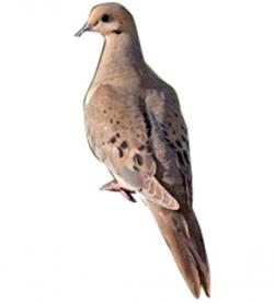 Mourning Dove clipart