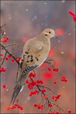 Mourning Dove clipart engagement congratulation