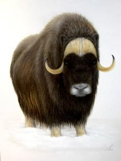 Muskox clipart correct