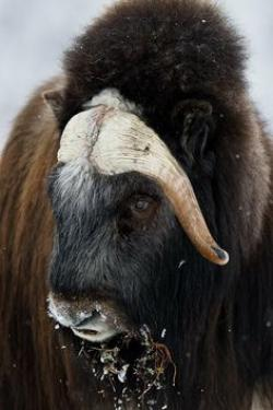 Muskox clipart ed out