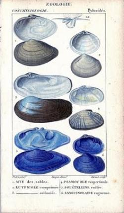Mollusc clipart blue seashell
