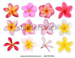 Frangipani clipart island flower