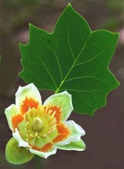 Nectar clipart tulip