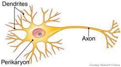Neuron clipart dentrites