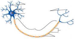 Neuron clipart biology
