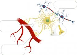 Neuron clipart healthy