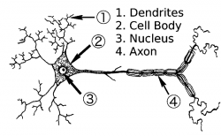 Neuron clipart labeled