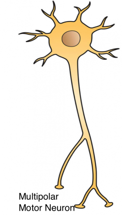 Neuron clipart multipolar