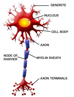 Neuron clipart structure a