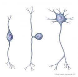 Neuron clipart unipolar